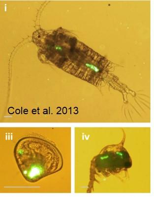 Plastics ingested by plankton