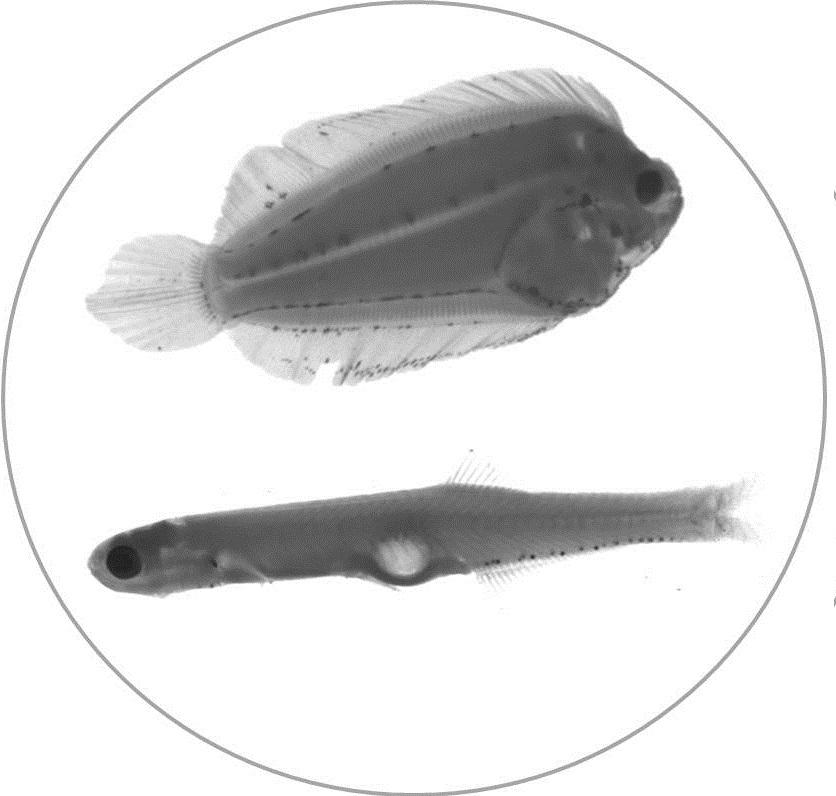 fish under microscope