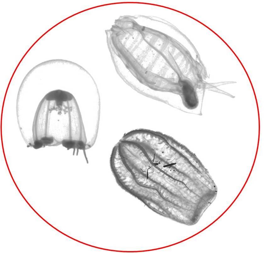 Jelly-like zooplankton under microscope