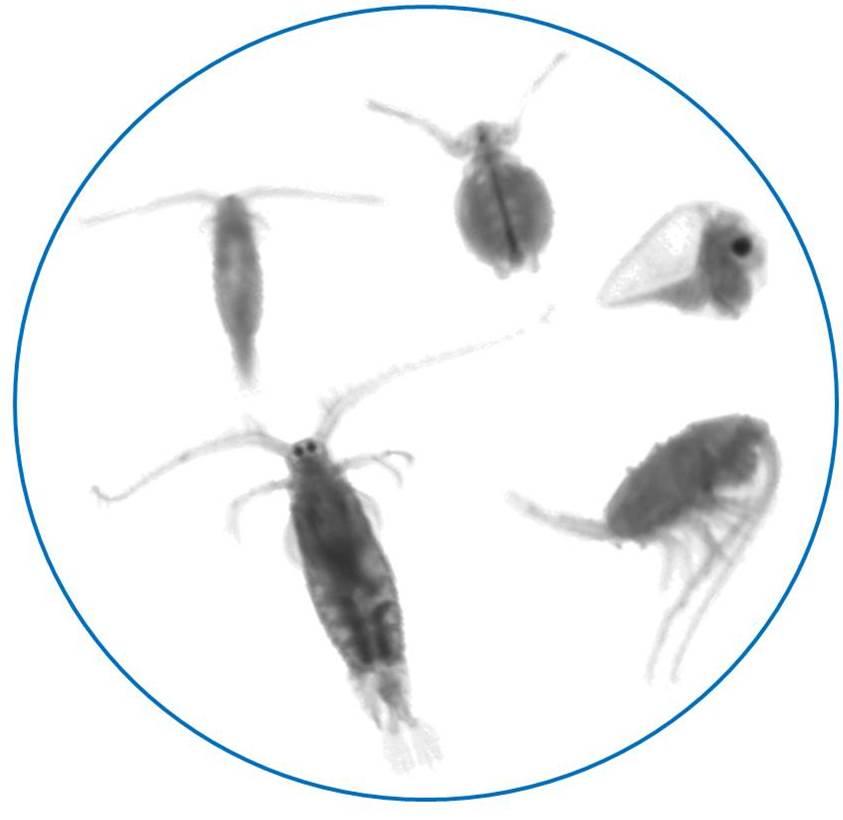 Small shrimp-like copepod under microscope